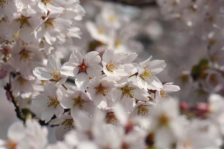 Paula Abrahao | Cerejeiras em Amsterdam