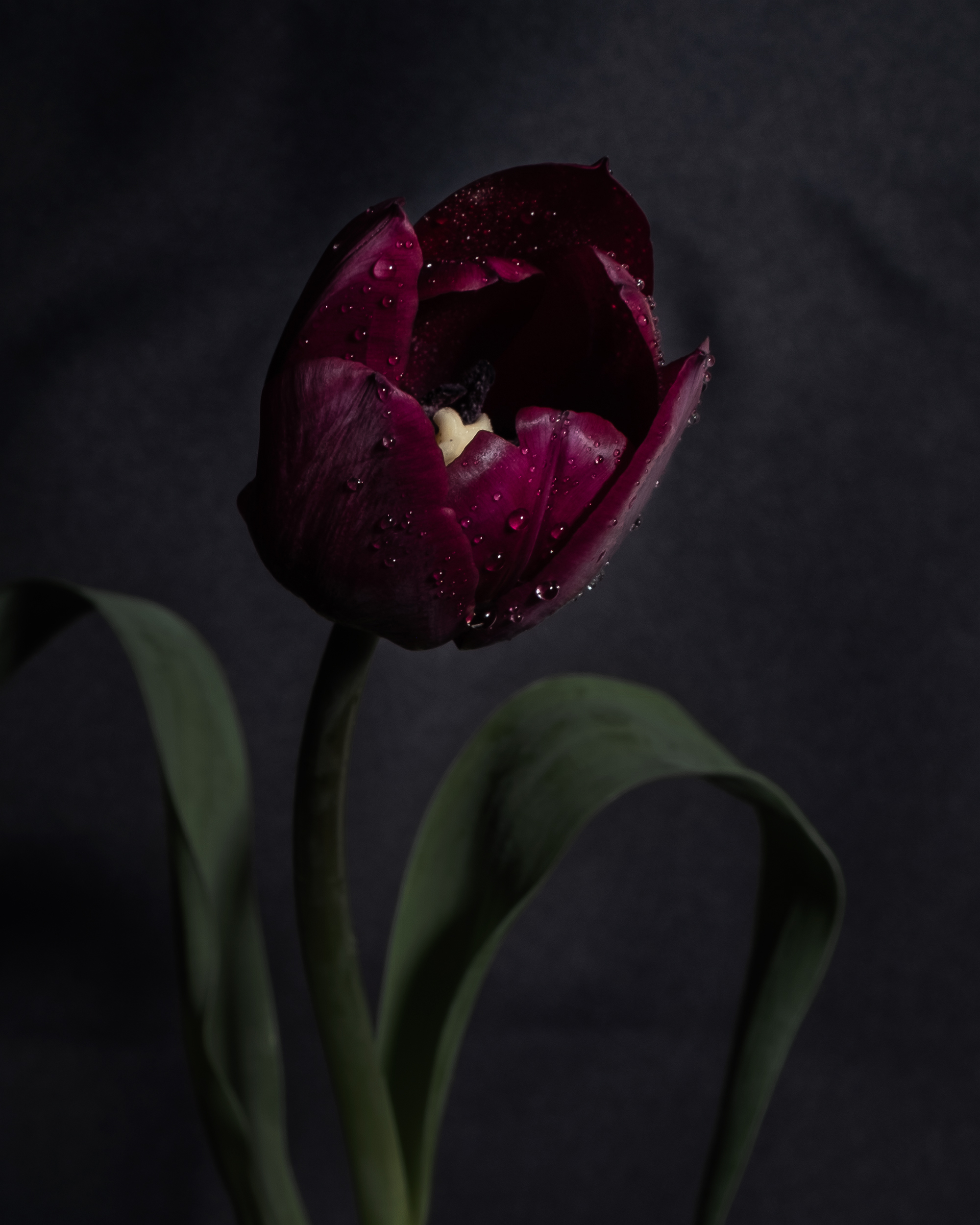 Paula Abrahao - Isolation Creation - Dark Tulip